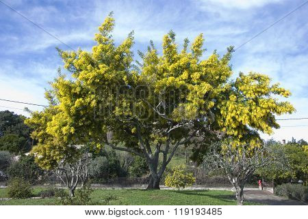 Big mimosa's tree blooming