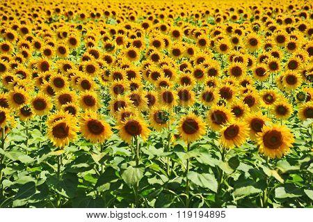 Sunflower (helianthus) Field