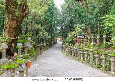 A huge sacred camphor tree next to the path full of stone lanterns leading to Kasuga Shrine in Nara, Japan.