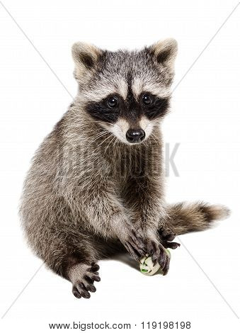 Funny raccoon playing rawhide bone