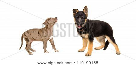 Puppy pit bull and German Shepherd standing together