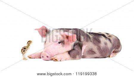 Cute little pig and quail chicken