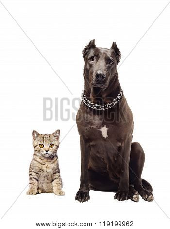 Staffordshire terrier and kitten Scottish Straight sitting together