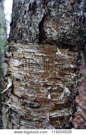 Exfoliating White Birch Tree