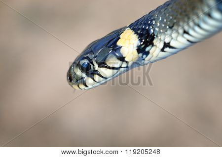 Grass Snake Close-up