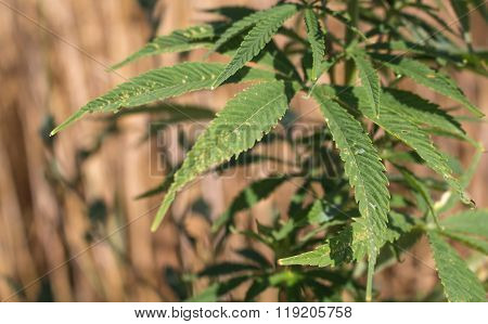Cannabis In The Filed