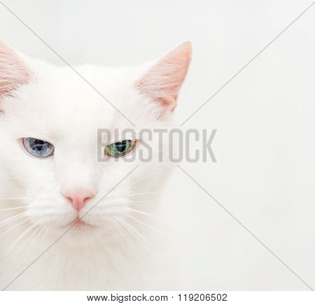 Portrait of white cat with different eyes.