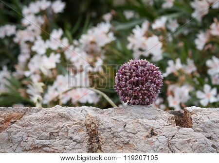 Flower Of Cultivated Allium, Greece