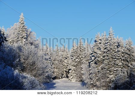 Snow And Rime Covered Fir Trees On A Sunny Winter Day