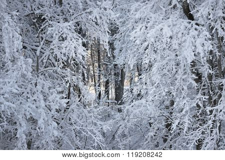 Snow and rime covered branches in a winter forest