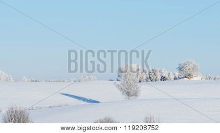 Lonely Birch Tree On A Snowcovered Field Surrounded By Forest