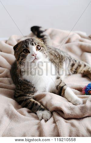 Beautiful Cat On The Beige Plaid