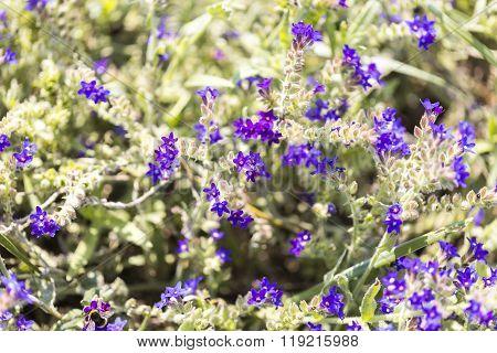 Macro Of Purple Heather For Backgrounds
