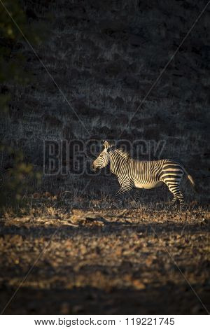 A Zebra in the Palmwag concession of Namibia ** Note: Visible grain at 100%, best at smaller sizes