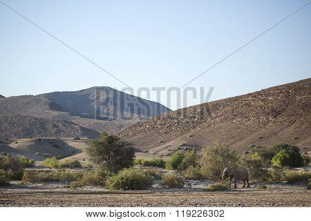 Desert Elephant in the Kunene region of Namibia.