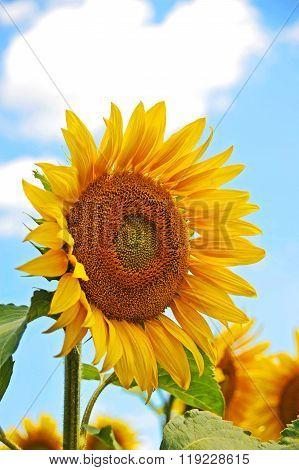Sunflower (helianthus) And Blue Sky