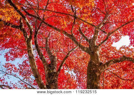 Maple Tree In Autumn In Korea.