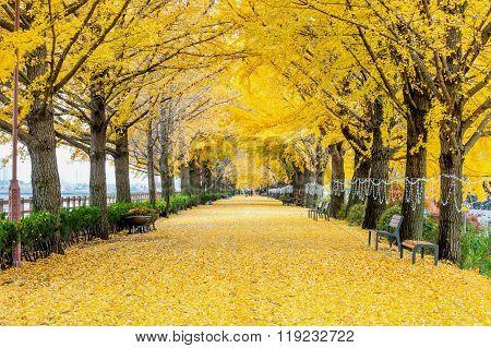 Row of yellow ginkgo trees and Tourists in Asan, South Korea during autumn season.