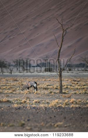 Gemsbok or Oryx grazing in the Sossusvlei area