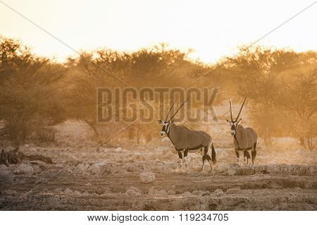 Gemsbok or Oryx at a water hole in Etosha National Park.