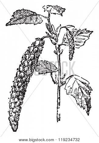 Birch Tree, vintage engraved illustration. Dictionary of words and things - Larive and Fleury - 1895.