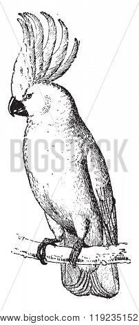 Cockatoo, vintage engraved illustration. Dictionary of words and things - Larive and Fleury - 1895.
