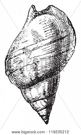 Whelk, vintage engraved illustration. Dictionary of words and things - Larive and Fleury - 1895.