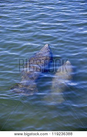 Florida manatee and calf surfacing