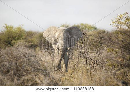 Bull elephant in Etosha National Park, Namibia.