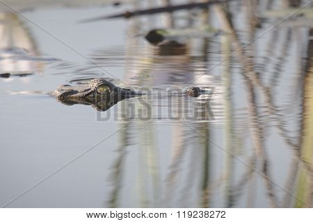 Crocodile swimming just beneath the surface in Botswana