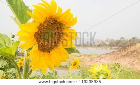 Beautiful Sunflower Plant In Public Garden