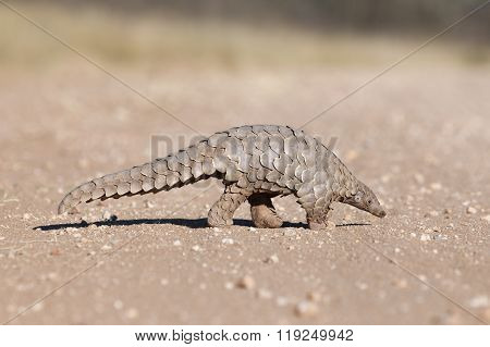 Pangolin walking along a gravel path in Namibia