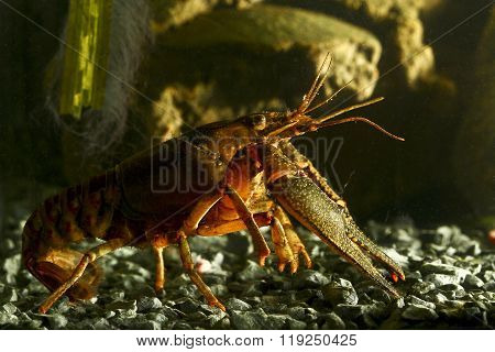Lobster Like Freshwater Eastern Crayfish