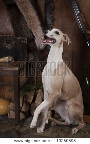 Whippet Dog With Hunting Accessories