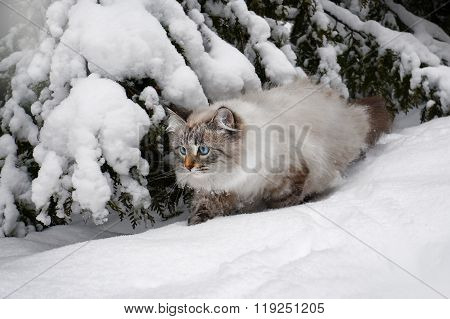 Siberian  cat on walk in winter