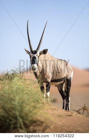 Gemsbok eating in Sossusvlei, Naukluft National Park, Namibia.