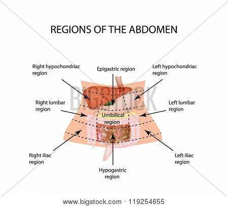 Abdominal Region. The liver, gallbladder, pancreas, stomach, duodenum, intestine, small intestine, l