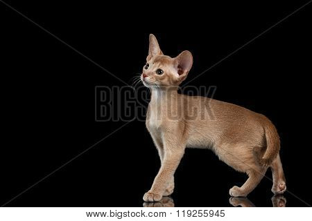 Portrait Of Standing Abyssinian Kitten And Looking Left Isolated Black