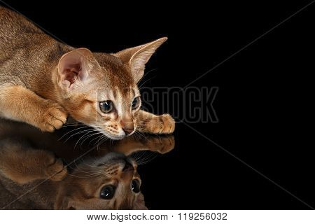 Crouching Abyssinian Kitten On Mirror And Looking Right Isolated Black