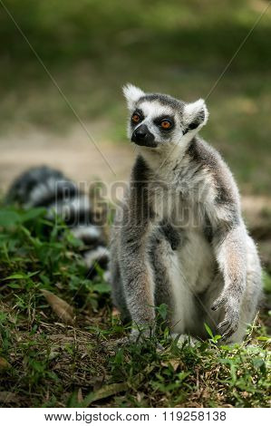 Ring- Tailed Lemur
