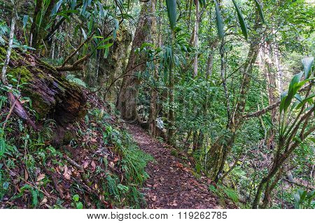 Rainforest path. Lamington National park, Gondwana rainforest, Queensland, Australia. Hiking in tropical rain forest