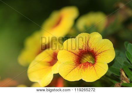 Calibrachoa Hybrid Flower
