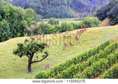 A group of deer grazing on the grass near a vineyard in Gruyere, Switzerland.