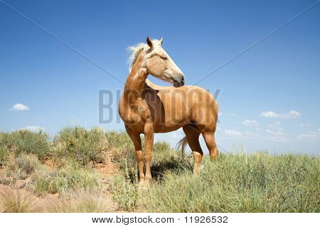 Beautiful wild mustang horse wandering in a field
