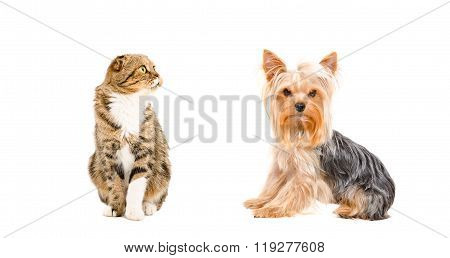 Yorkshire Terrier and cat Scottish Fold