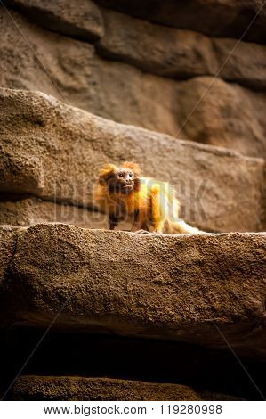 Small Golden Monkey