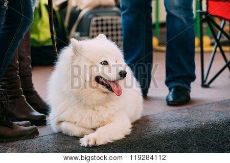 Young White Samoyed Dog Sitting On Floor
