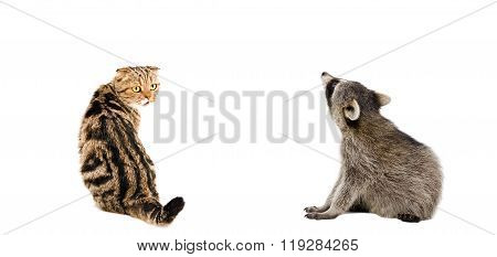 Scottish Fold cat and raccoon sitting together, rear view