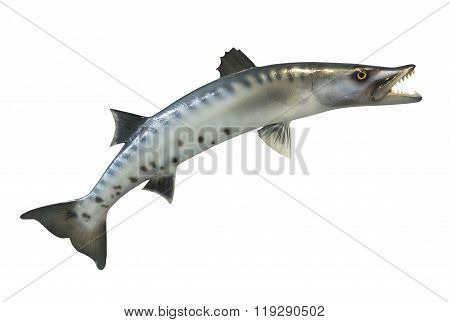 Great Barracuda fish, isolated
