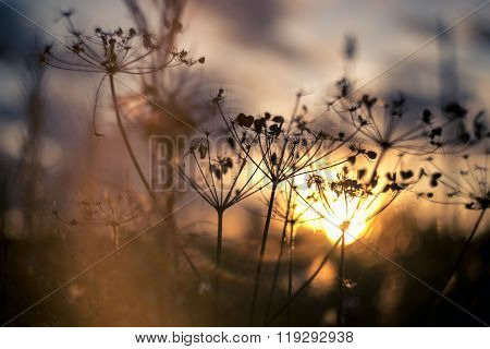 Evening picture of cow parsnip grass silhouette on sunset blurred field